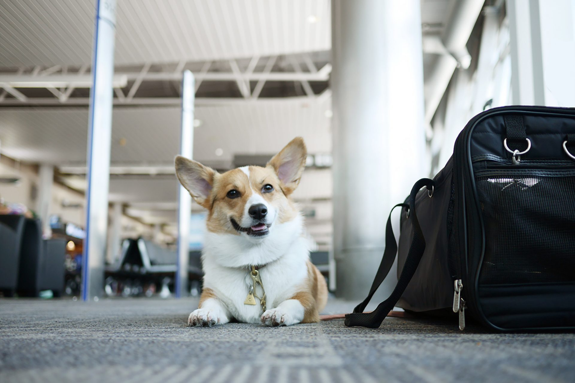How to fly with your dog in cabin