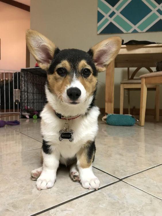 Pembroke Welsh Corgis: A Puppy Buying Guide