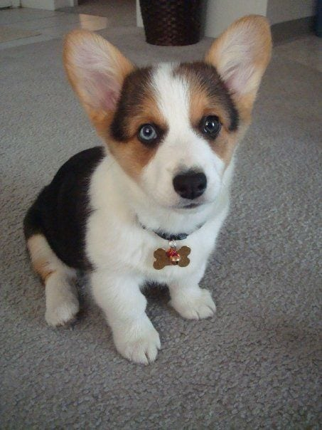 Mini Corgi Puppies For Sale >> Pembroke Welsh Corgis A Puppy Buying Guide